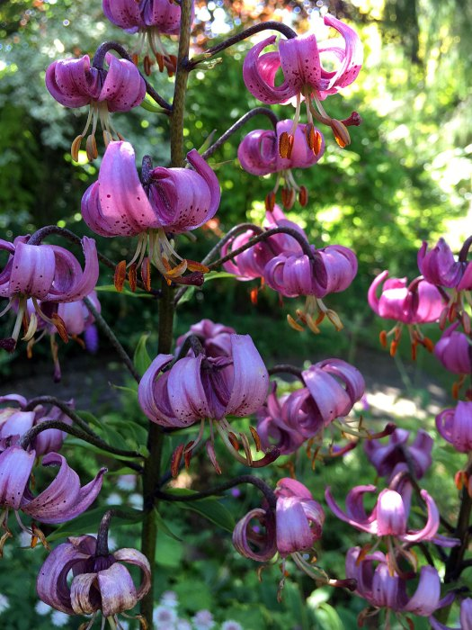 Lilium martagon (purple Turkscap lily)