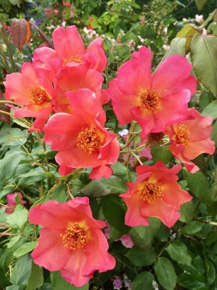 Rosa Morning Mist - single orange shrub rose