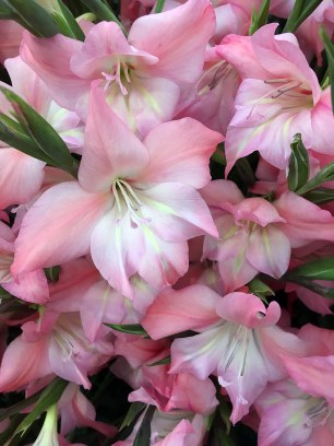 Nanus Gladiolus 'Charming Beauty' - small gladioli