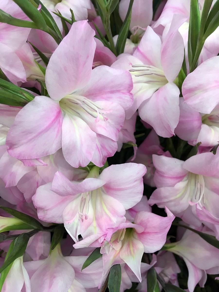 Nanus Gladiolus 'Charming Lady' - small gladioli