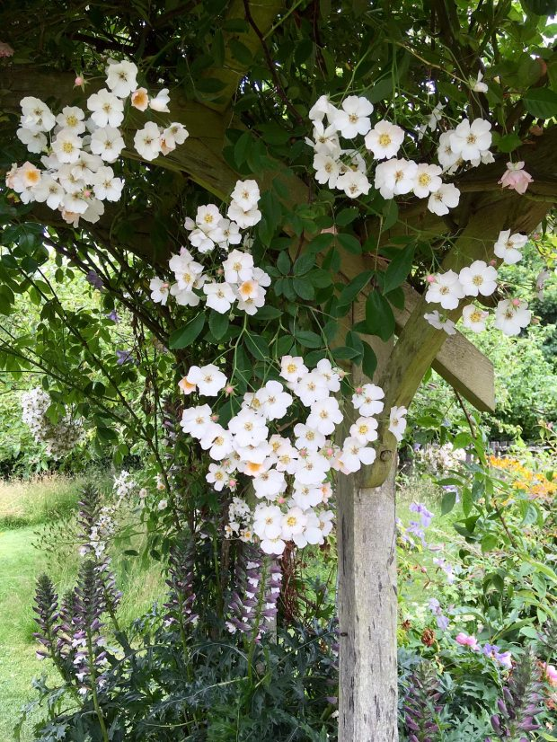 Rambling rose in Rosemoor's cottage garden