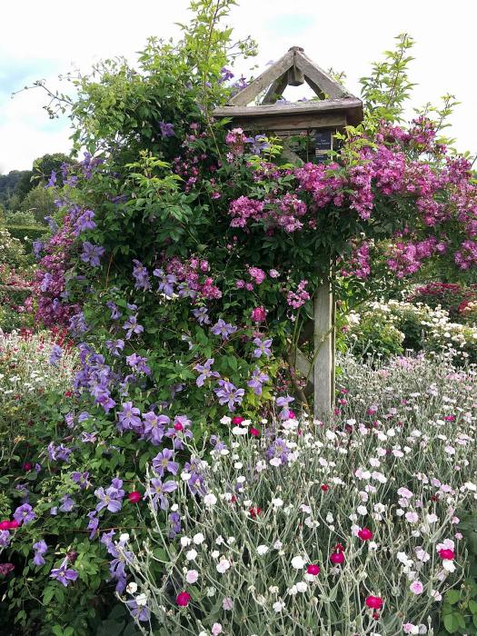 'Veilchenblau' rambling rose with clematis on an obelisk
