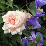 Rosa 'Reve d'Or' and Clematis 'Perle d'Azur'