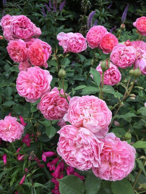 Rosa 'Boscobel' with penstemon
