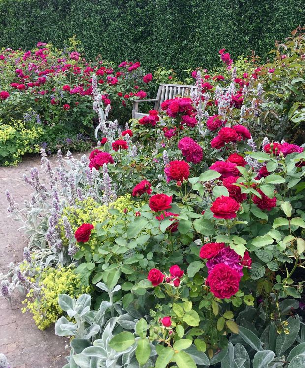 Red 'Darcey Bussell' roses surround a bench at Rosemoor