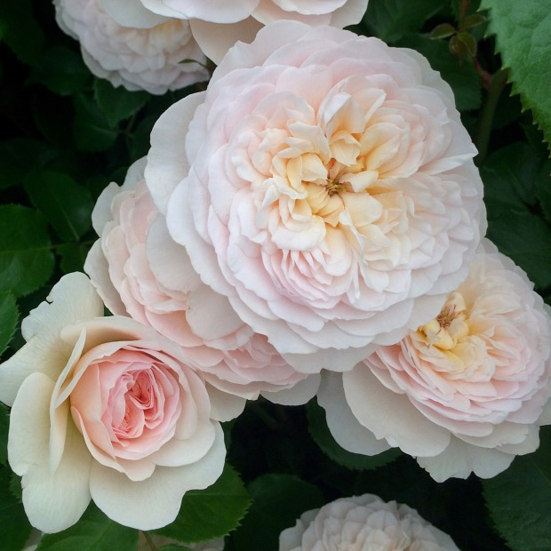Rosa 'Emily Brontë' - David Austin Rose
