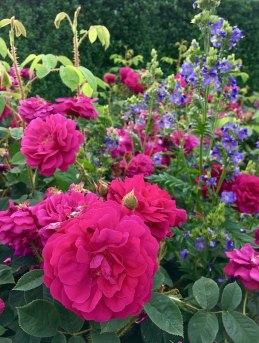 Rosa 'Henri Martin' | Old Moss Rose