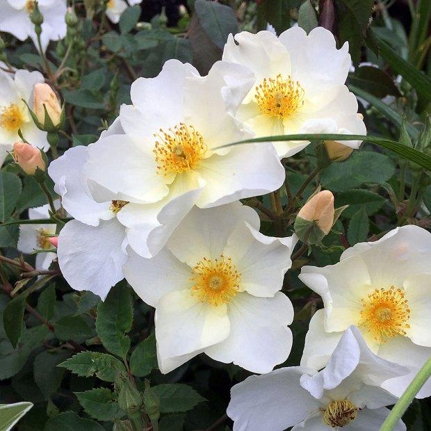 Rosa 'Kew Gardens'