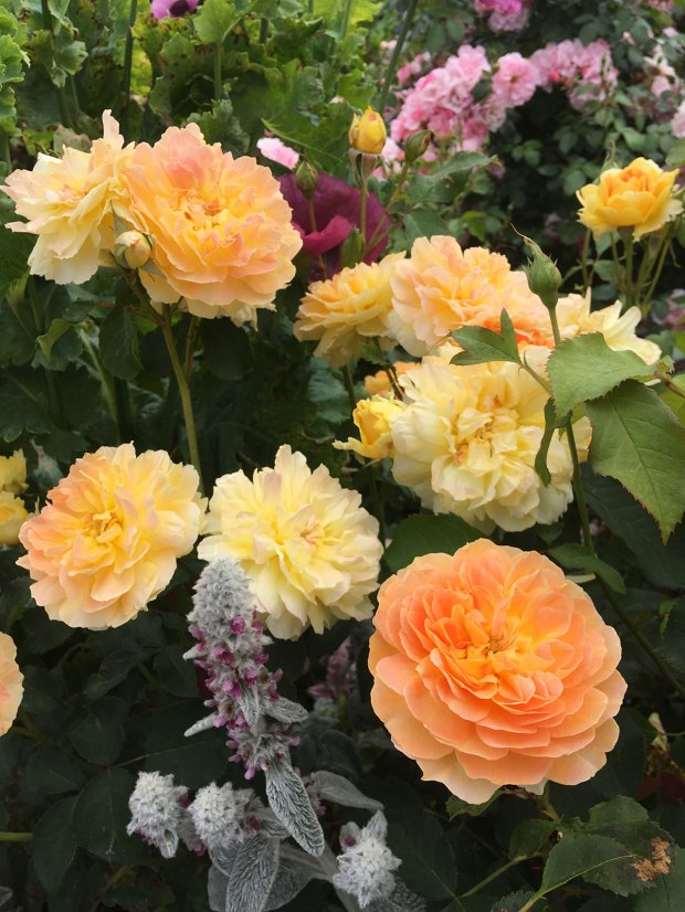 Molineux roses in a flower border