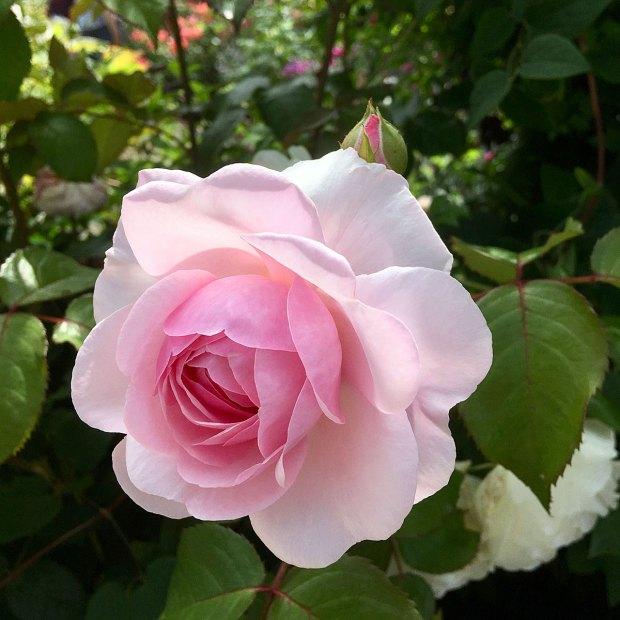 Rosa 'Olivia Rose Austin' backlit at Rosemoor Garden