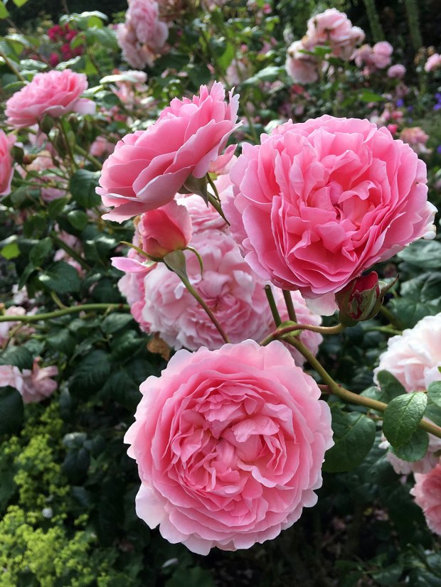Rosa 'Strawberry Hill' at Rosemoor Garden