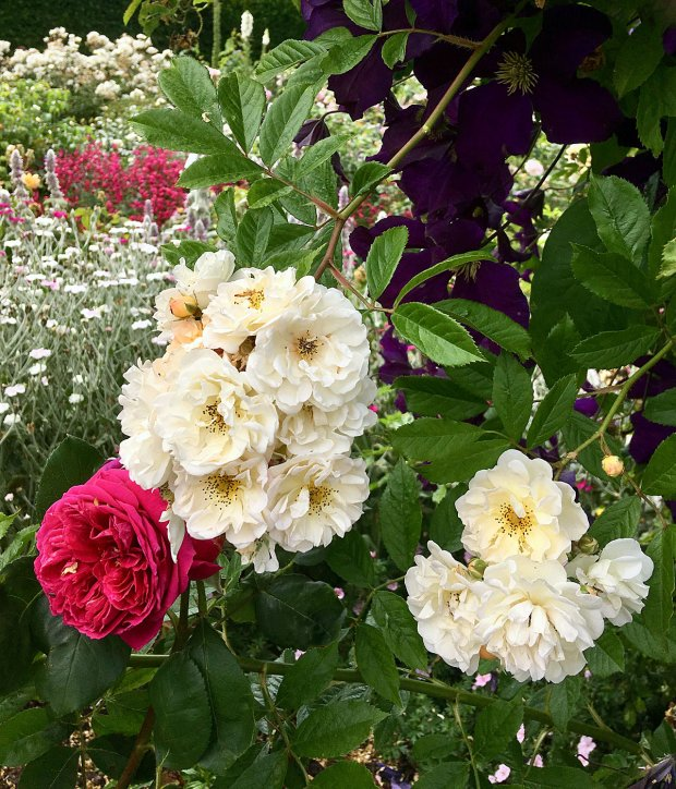 Rambling roses hang down over a flower border