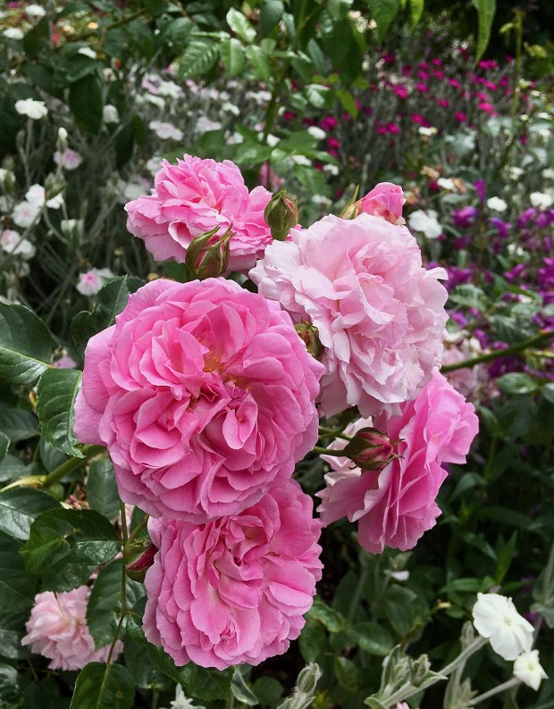 Pink shrub rose with lychnis coronaria and penstemon