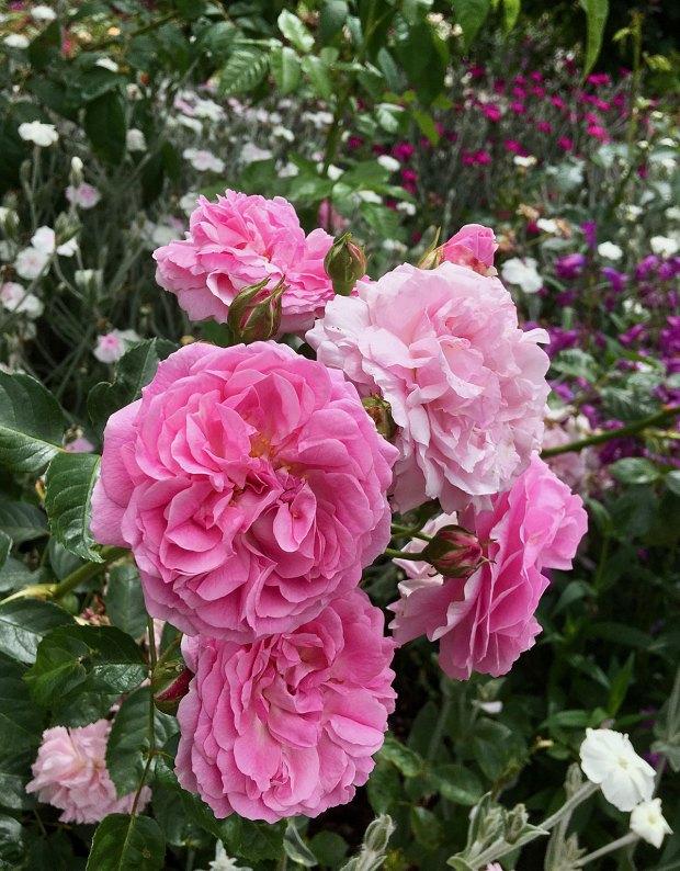 Pink shrub rose with lychnis coronaria and penstemon