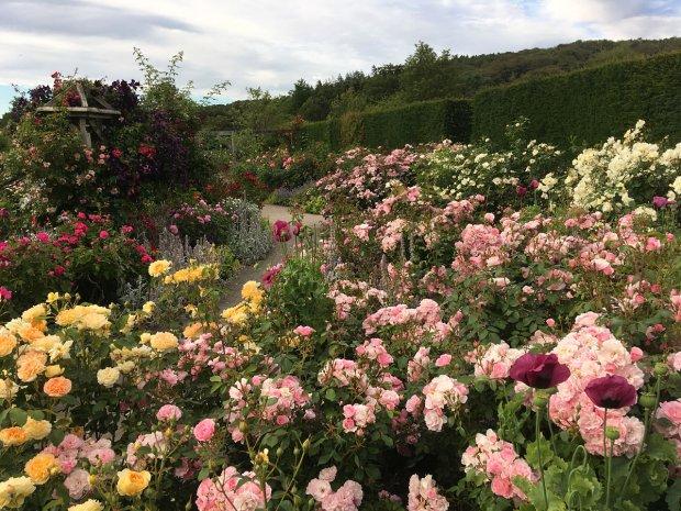 RHS Rosemoor's shrub rose garden in full bloom