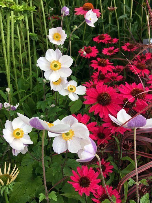 Anemone 'Dreaming Swan' with pink echinacea and striped grass