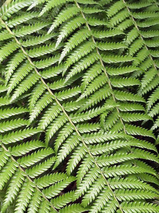 Dicksonia antarctica Labill. dicksoniaceae fronds