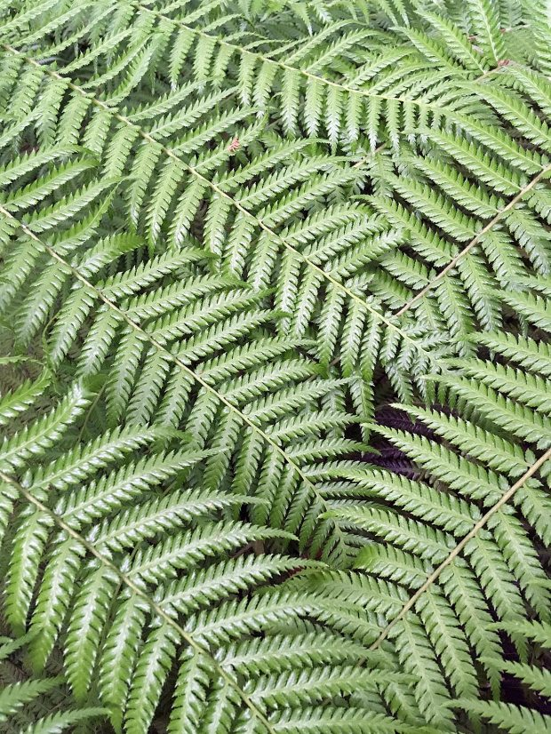 Dicksonia antarctica fronds form patterns