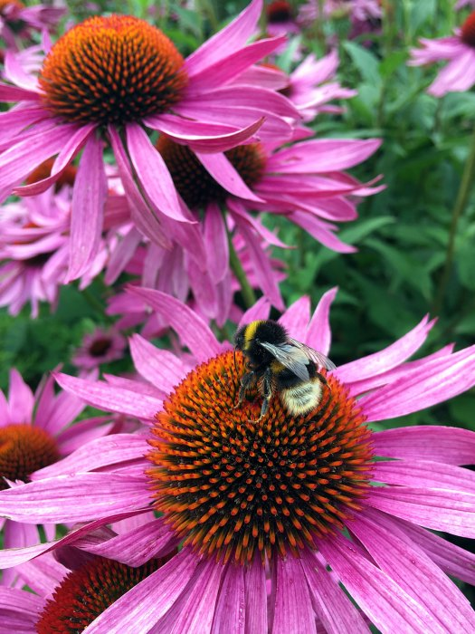 Pink echinacea with bee