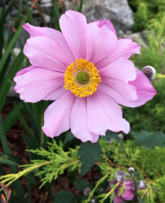 Perfect pink Japanese anemone flower with gold stamens