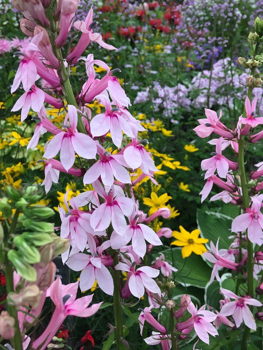 Lobelia 'Compton Pink' with other flowers