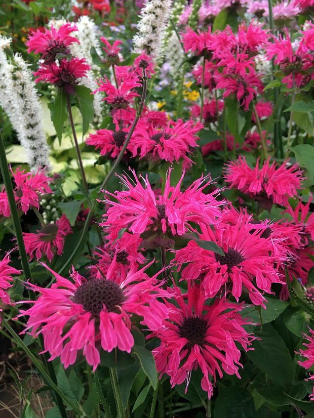 Monarda 'Pink Lace' with other hardy plants by Holden Clough Nurseries