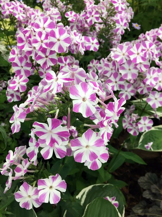 Phlox paniculata with a star shaped design