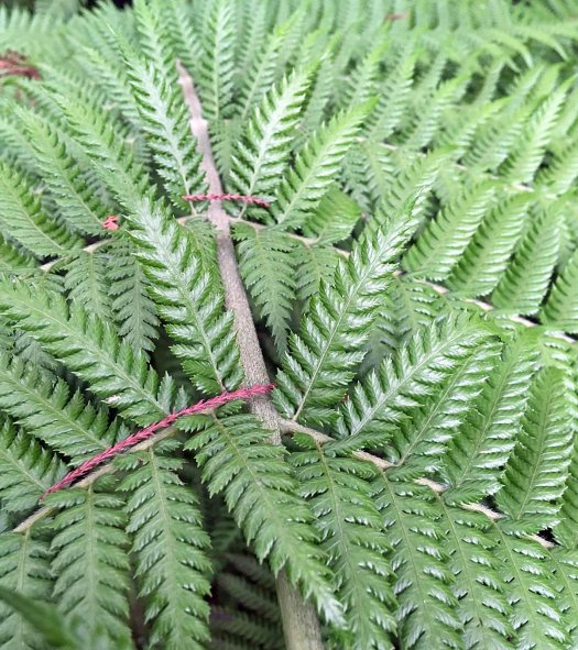 Close up of tree fern Dicksonia antarctica