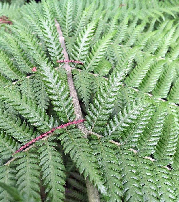 Close up of tree fern Dicksonia antarctica