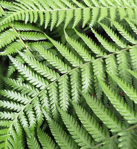 Tree fern frond patterns