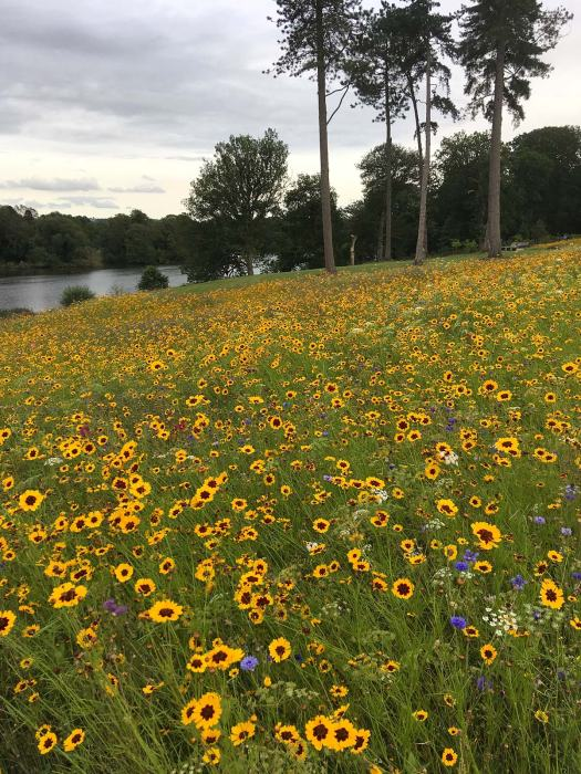 Coreopsis in a wildflower meadow at Trentham Gardens