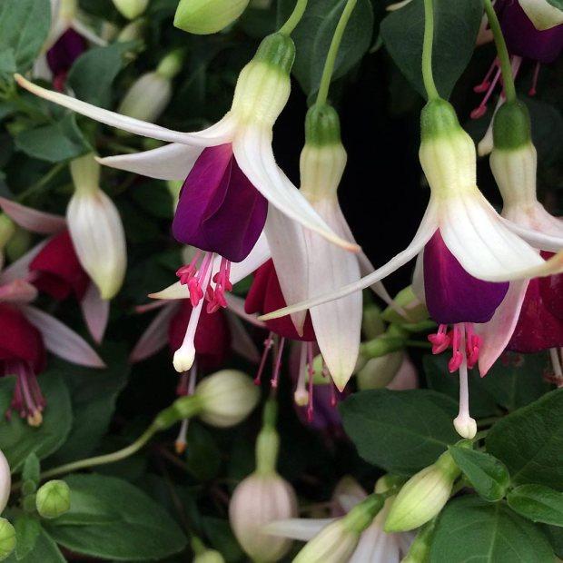 Fuchsia 'Hermiena'
