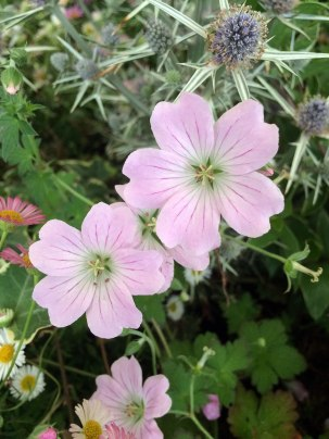 Geranium 'Dreamland' has veined pale pink flowers