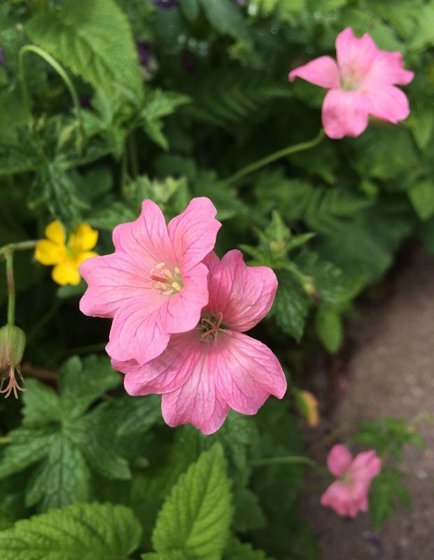 Geranium oxonianum 'Wageningen' has salmon pink flowers
