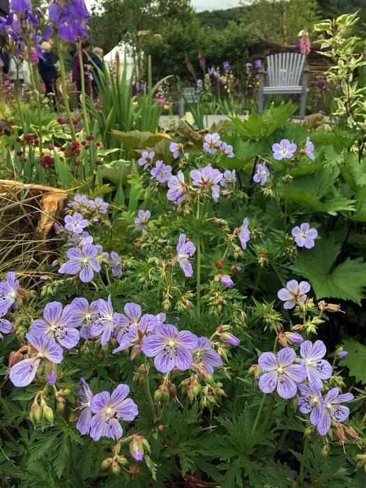 Geranium pratense 'Mrs Kendall Clark' in the RHS Garden For Wildlife: Wild Woven