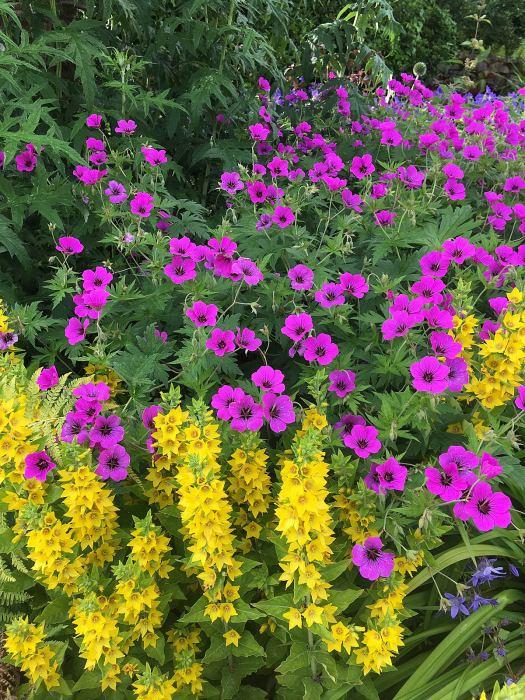 Bright pink Geranium psilostemon with yellow loosestrife