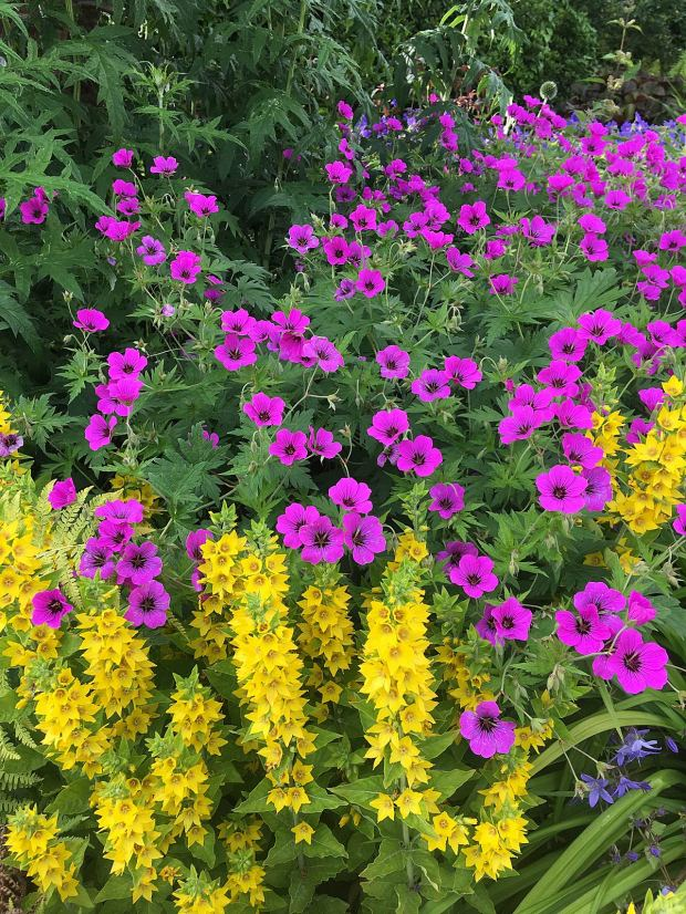 Bright pink Geranium psilostemon with yellow loosestrife