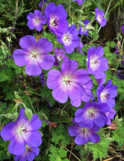 Geranium 'Rozanne' has purple-blue flowers with white centres