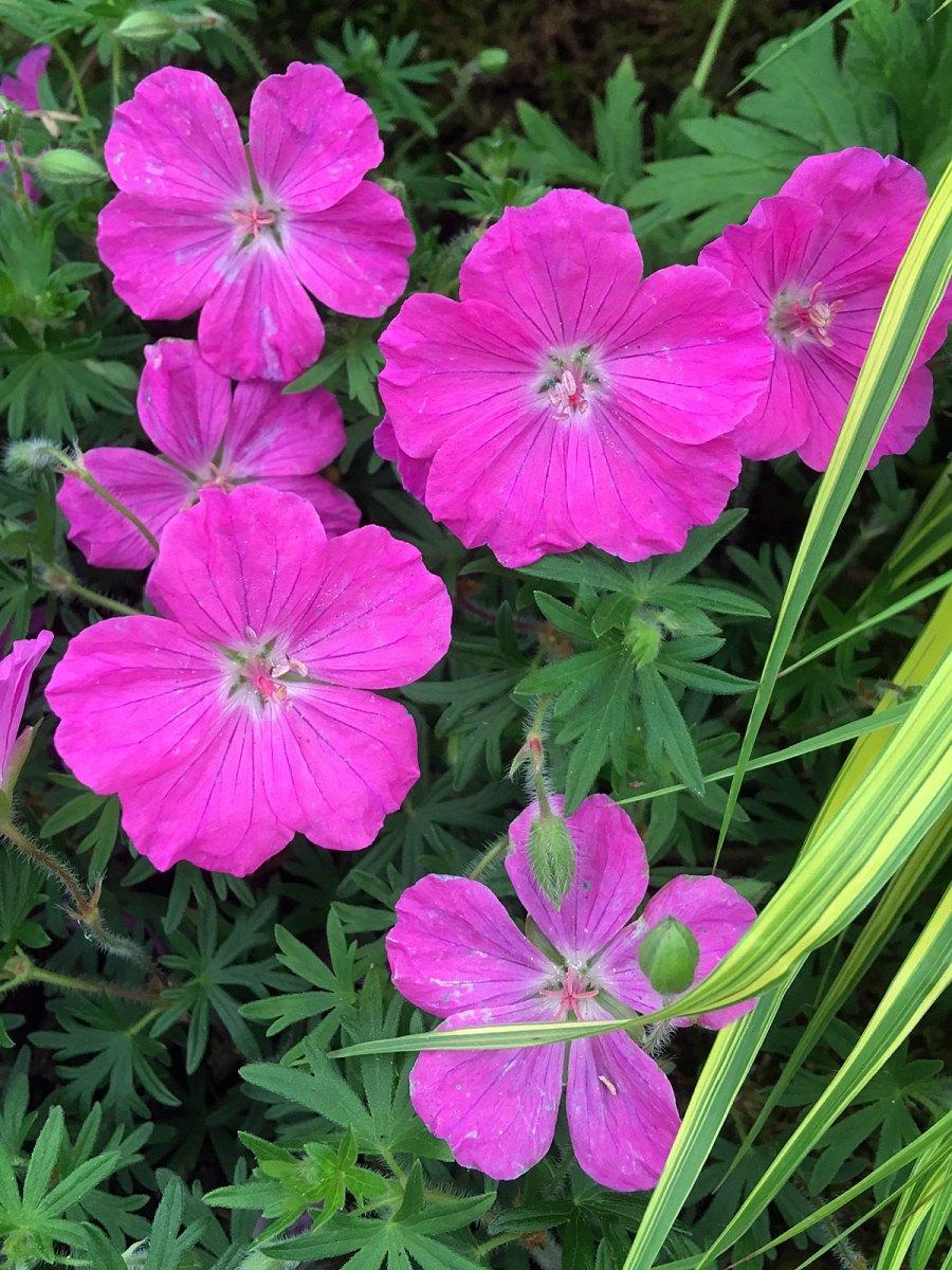 Geranium sanguineum 'Ankum's Pride' has bold pink flowers