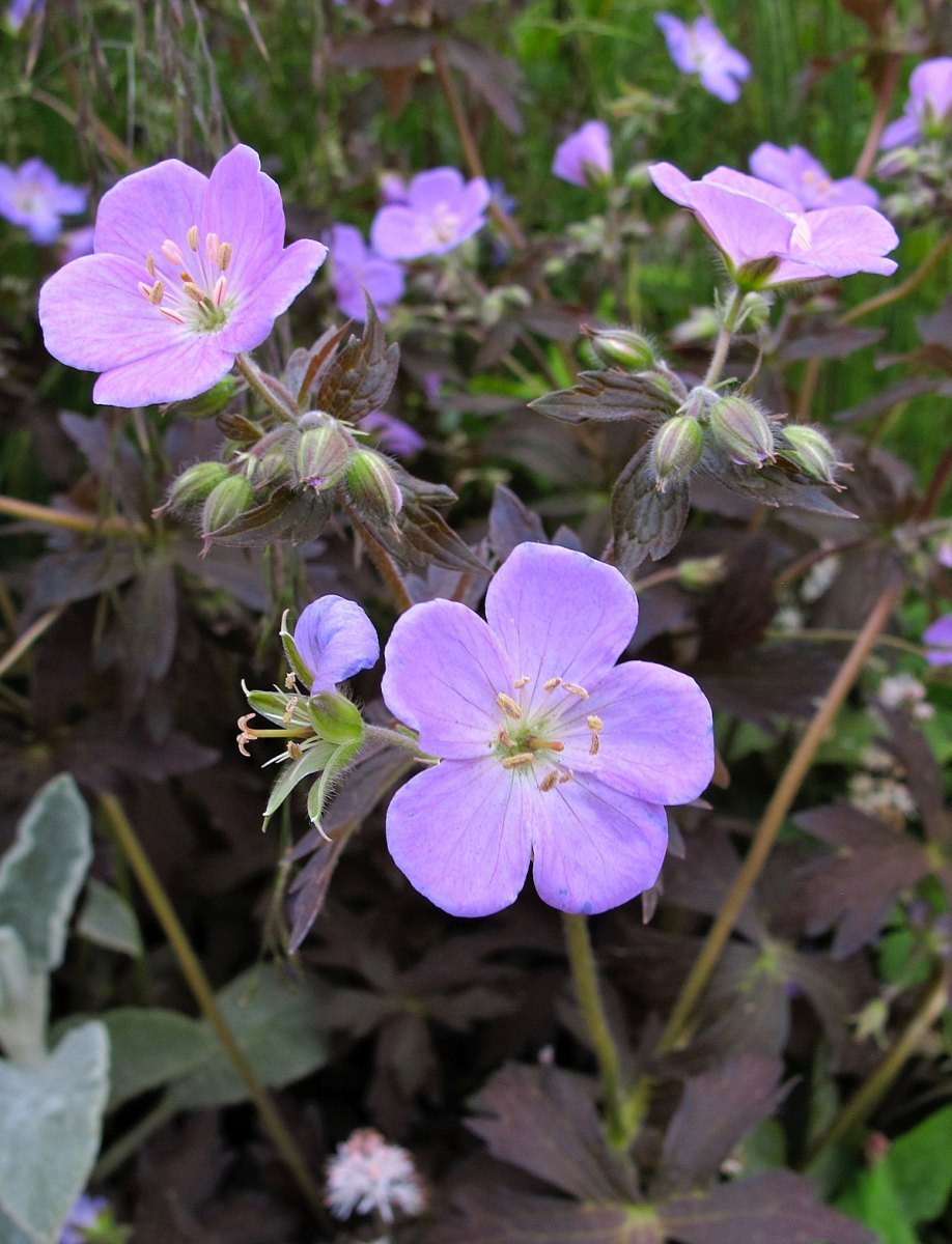 Geranium with chocolate foliage