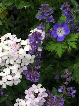 Geranium with nepeta and stocks
