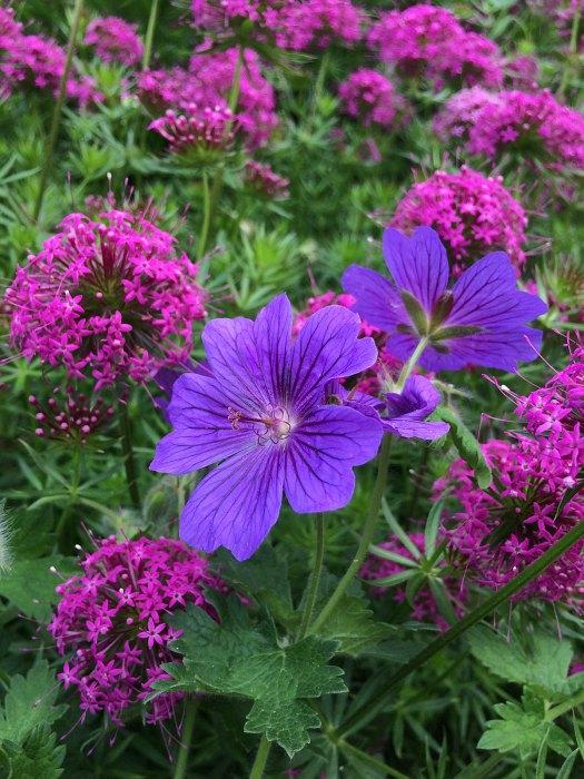 Purple geranium with bright pink Phuopsis stylosa