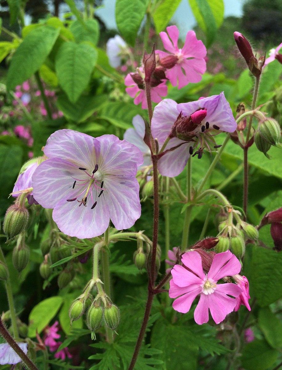 Veined geranium with pink silene
