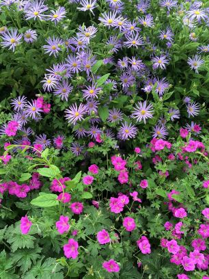 Geraniums with asters