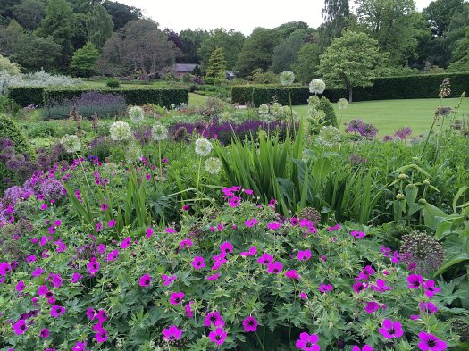 Bold pink geraniums in the mixed border at RHS Harlow Carr