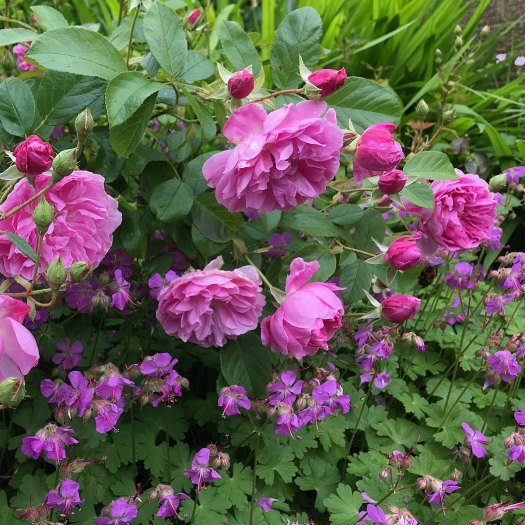 Rosa 'Harlow Carr' underplanted with hardy geranium