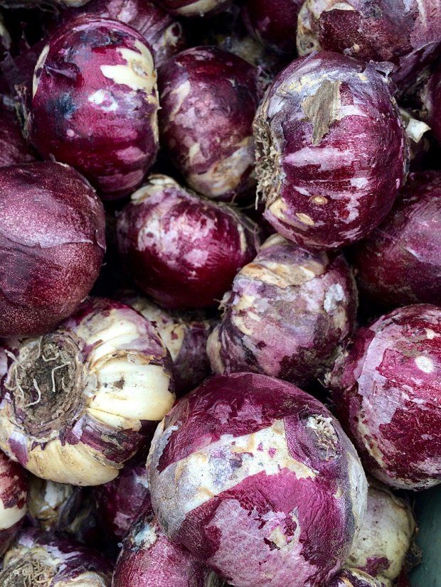 Hyacinth bulbs with purple, papery skins
