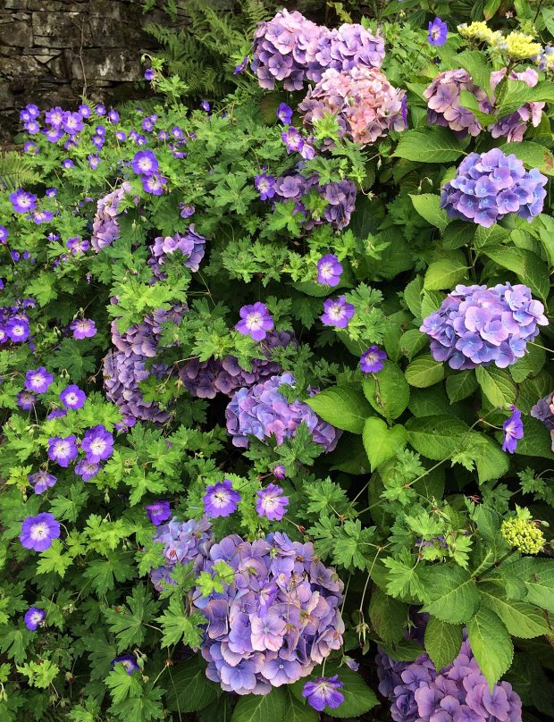 Blue hydrangea with geranium companion plant