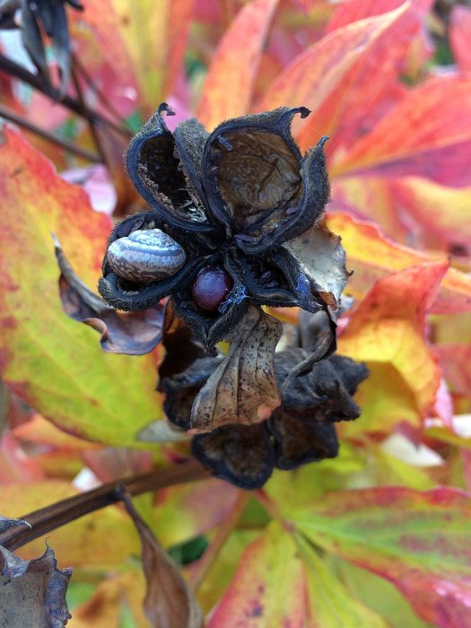Snail in a peony seed husk