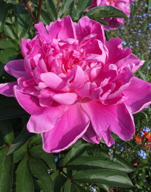 Peonies have compound leaves